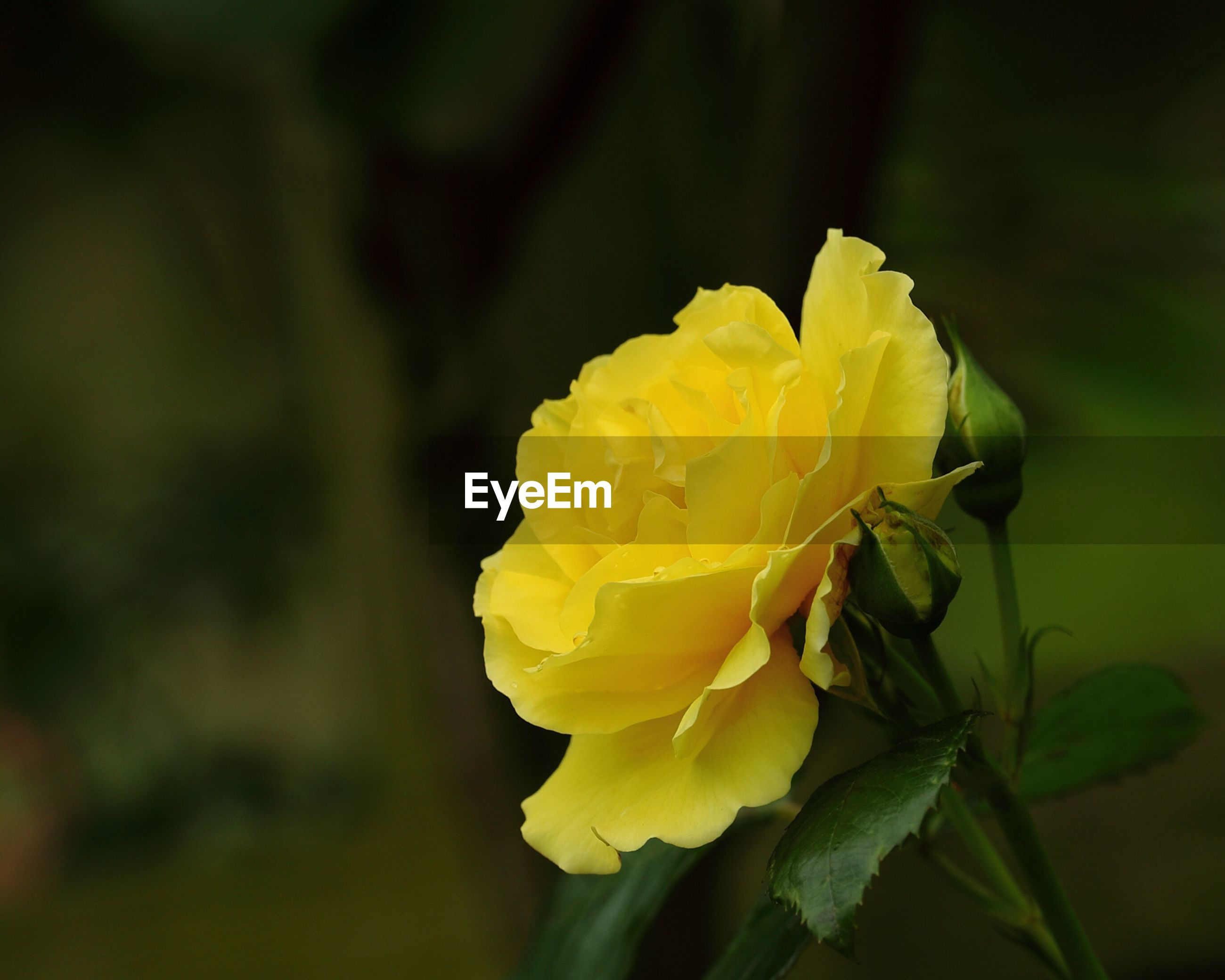 flower, yellow, petal, flower head, freshness, fragility, growth, close-up, beauty in nature, focus on foreground, single flower, nature, blooming, plant, in bloom, selective focus, botany, blossom, day, outdoors