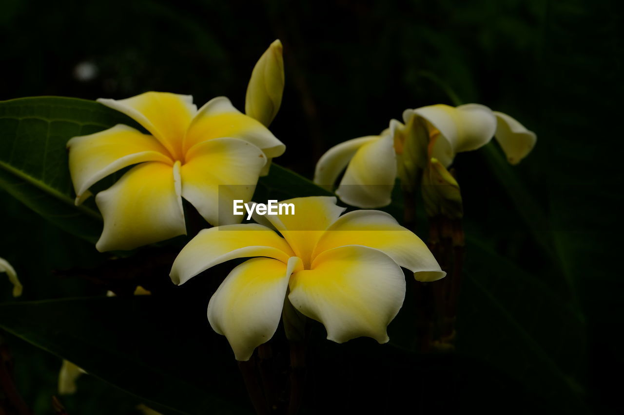 flower, petal, flowering plant, vulnerability, beauty in nature, freshness, fragility, plant, inflorescence, flower head, yellow, close-up, growth, nature, no people, focus on foreground, frangipani, outdoors, day, white color