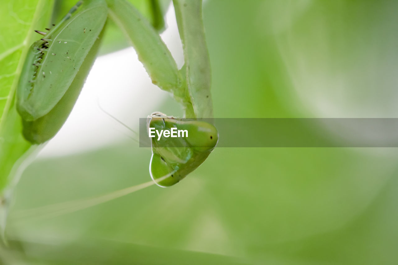 green color, one animal, animal wildlife, animal themes, animal, animals in the wild, insect, close-up, invertebrate, plant part, leaf, plant, day, nature, praying mantis, no people, growth, focus on foreground, selective focus, animal body part, outdoors, animal eye