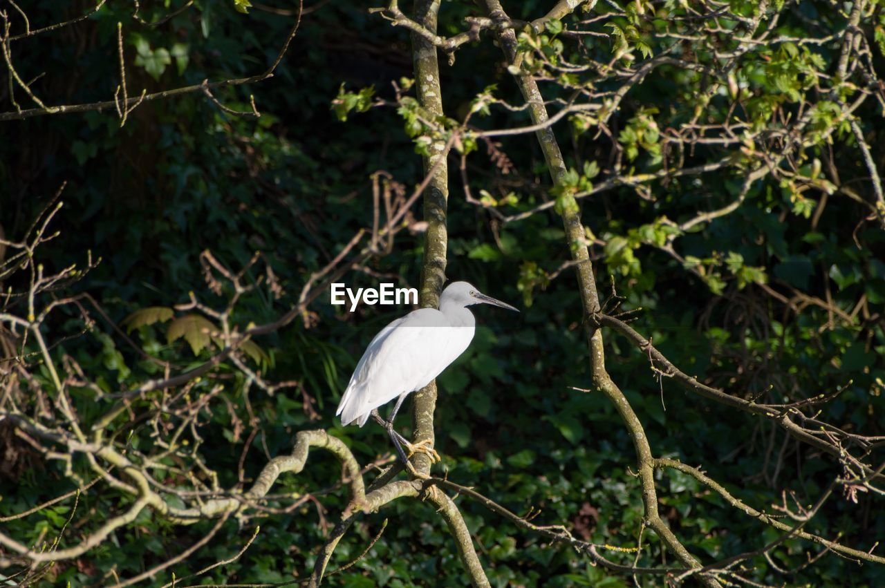 bird, one animal, animals in the wild, animal themes, animal wildlife, perching, heron, nature, great egret, egret, day, branch, outdoors, plant, tree, focus on foreground, no people, beak, beauty in nature, gray heron