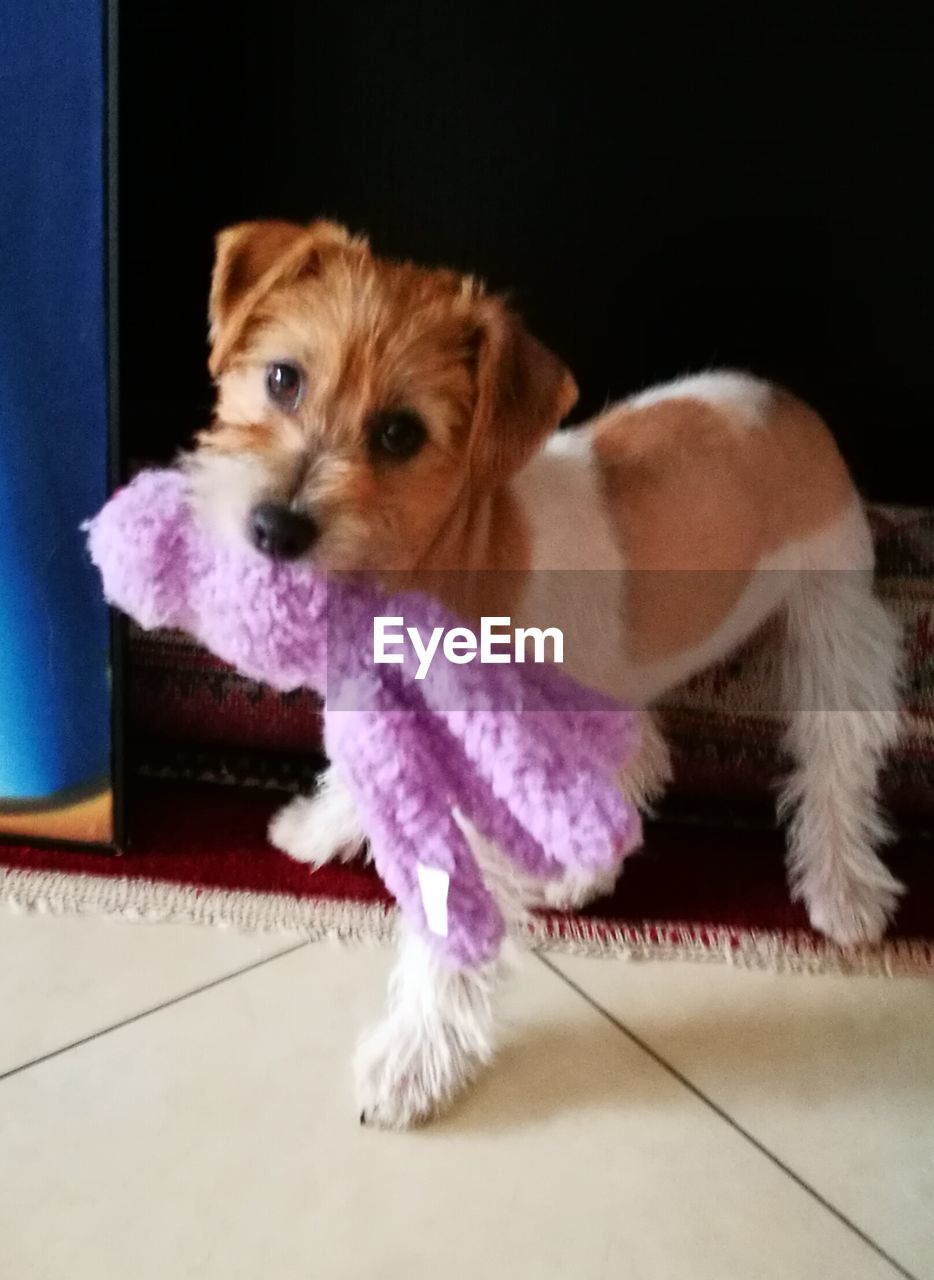 mammal, domestic, domestic animals, pets, one animal, dog, canine, animal themes, animal, indoors, no people, vertebrate, looking at camera, portrait, puppy, young animal, lap dog, cute, flooring, towel, small, tiled floor, purple