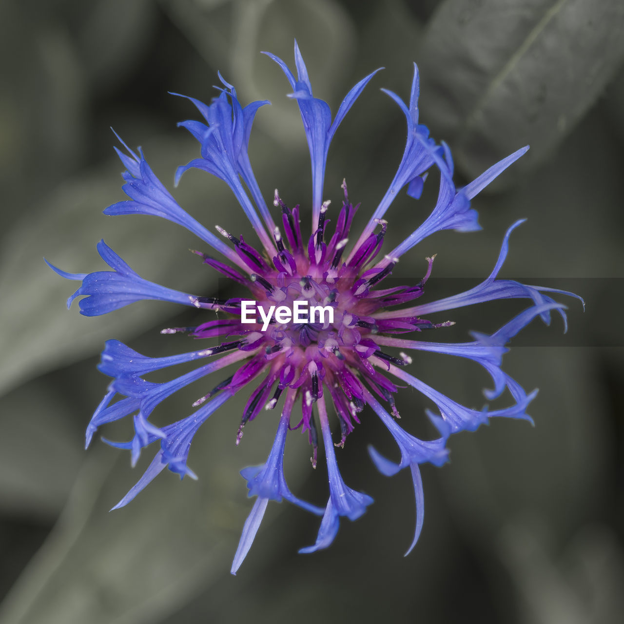 flower, fragility, petal, beauty in nature, freshness, purple, nature, growth, flower head, plant, no people, focus on foreground, day, blue, outdoors, close-up, blooming, passion flower
