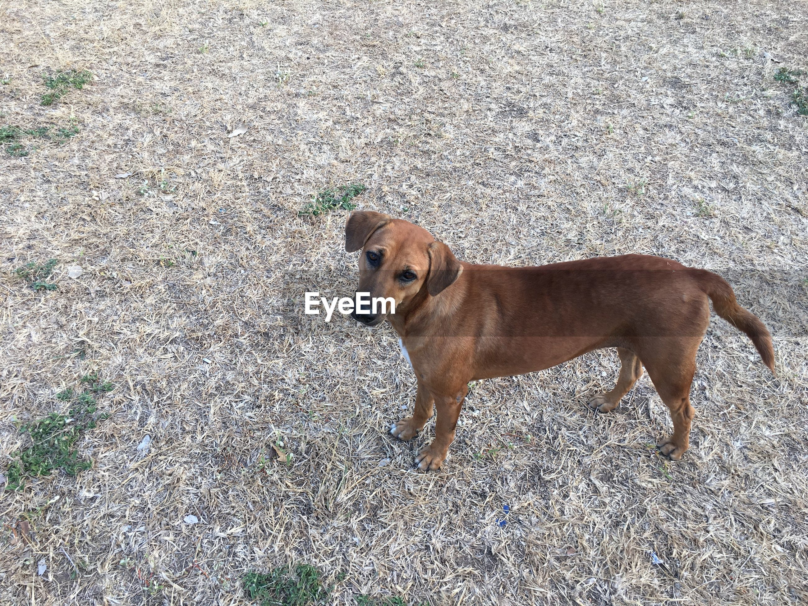 High angle view of dog standing on field