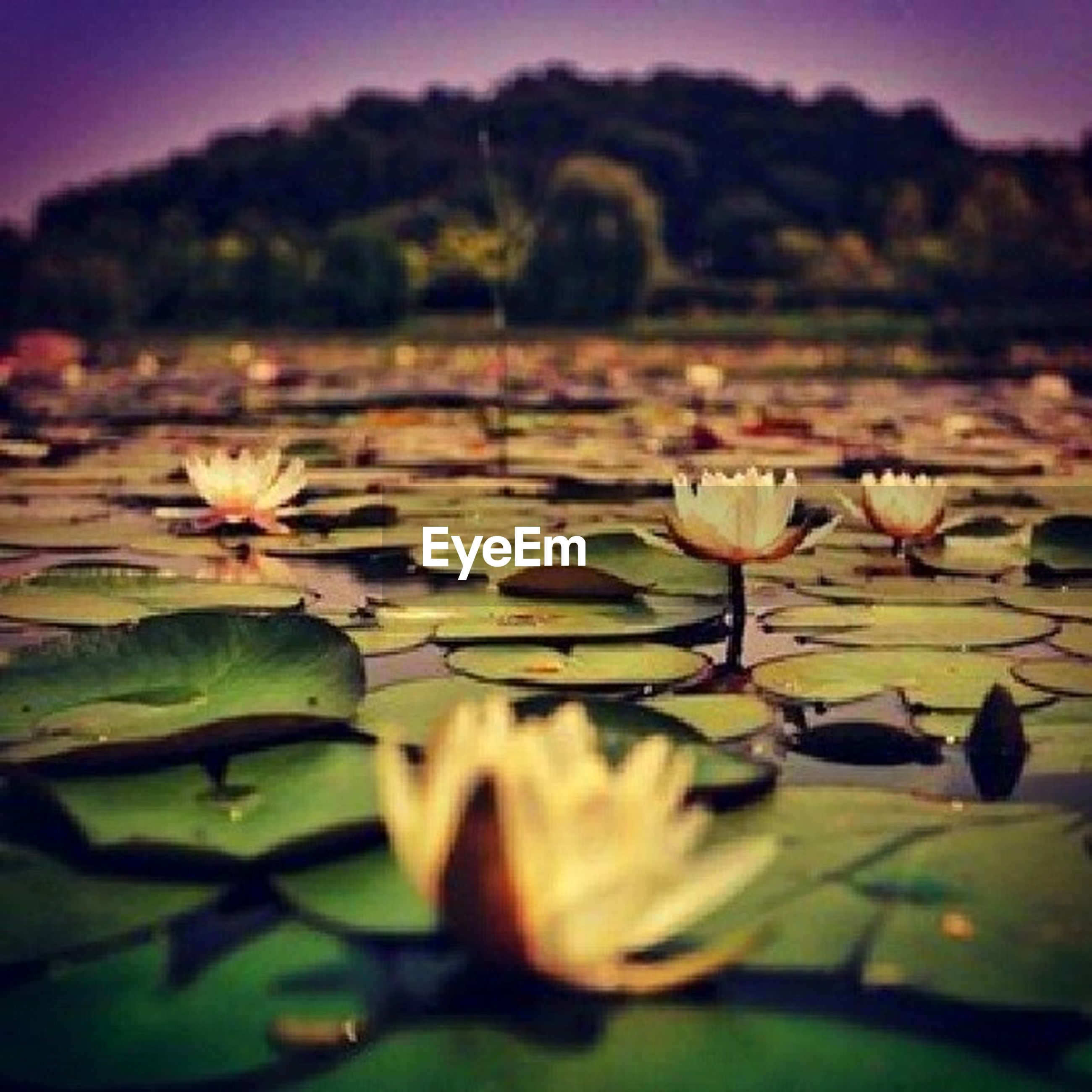flower, freshness, petal, fragility, growth, beauty in nature, water, water lily, flower head, leaf, plant, nature, pond, blooming, stem, close-up, lake, white color, floating on water, focus on foreground
