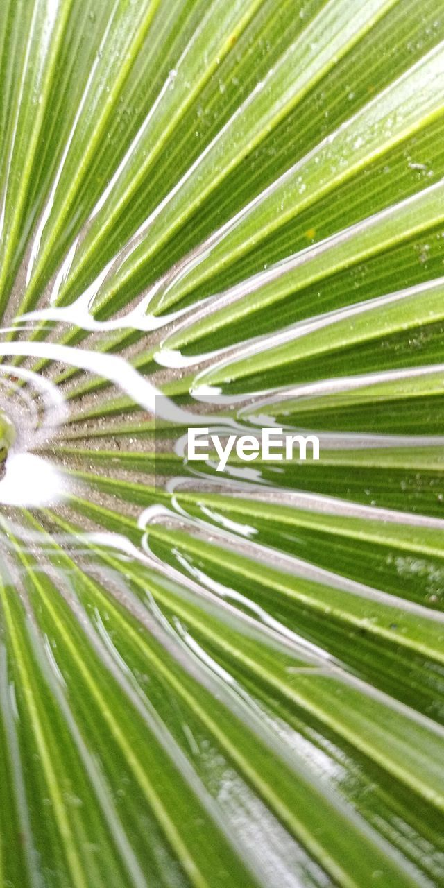 green color, leaf, plant part, plant, beauty in nature, tropical climate, palm leaf, palm tree, growth, nature, no people, tree, backgrounds, frond, close-up, freshness, full frame, day, outdoors, natural pattern, rainforest, purity, dew, leaves, soft focus