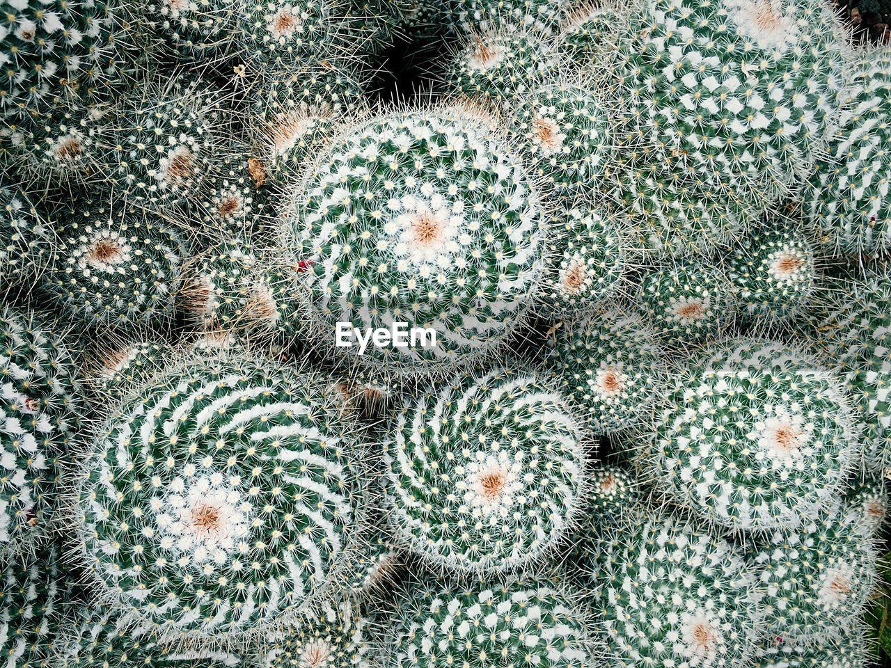 Full frame shot of barrel cactus growing outdoors