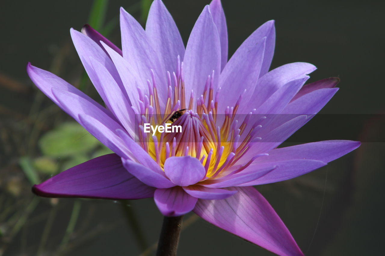 High angle view of purple water lily blooming outdoors