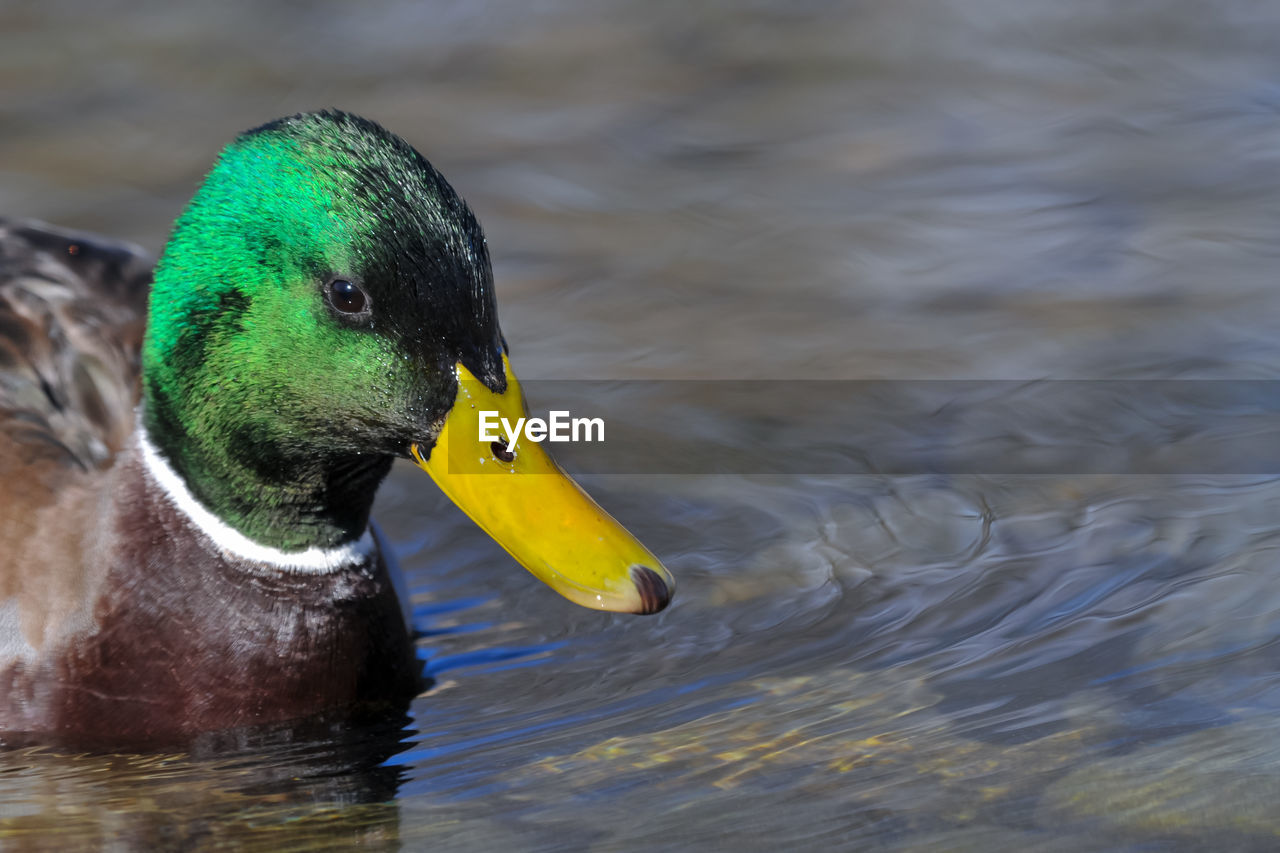 CLOSE-UP OF DUCK SWIMMING ON LAKE