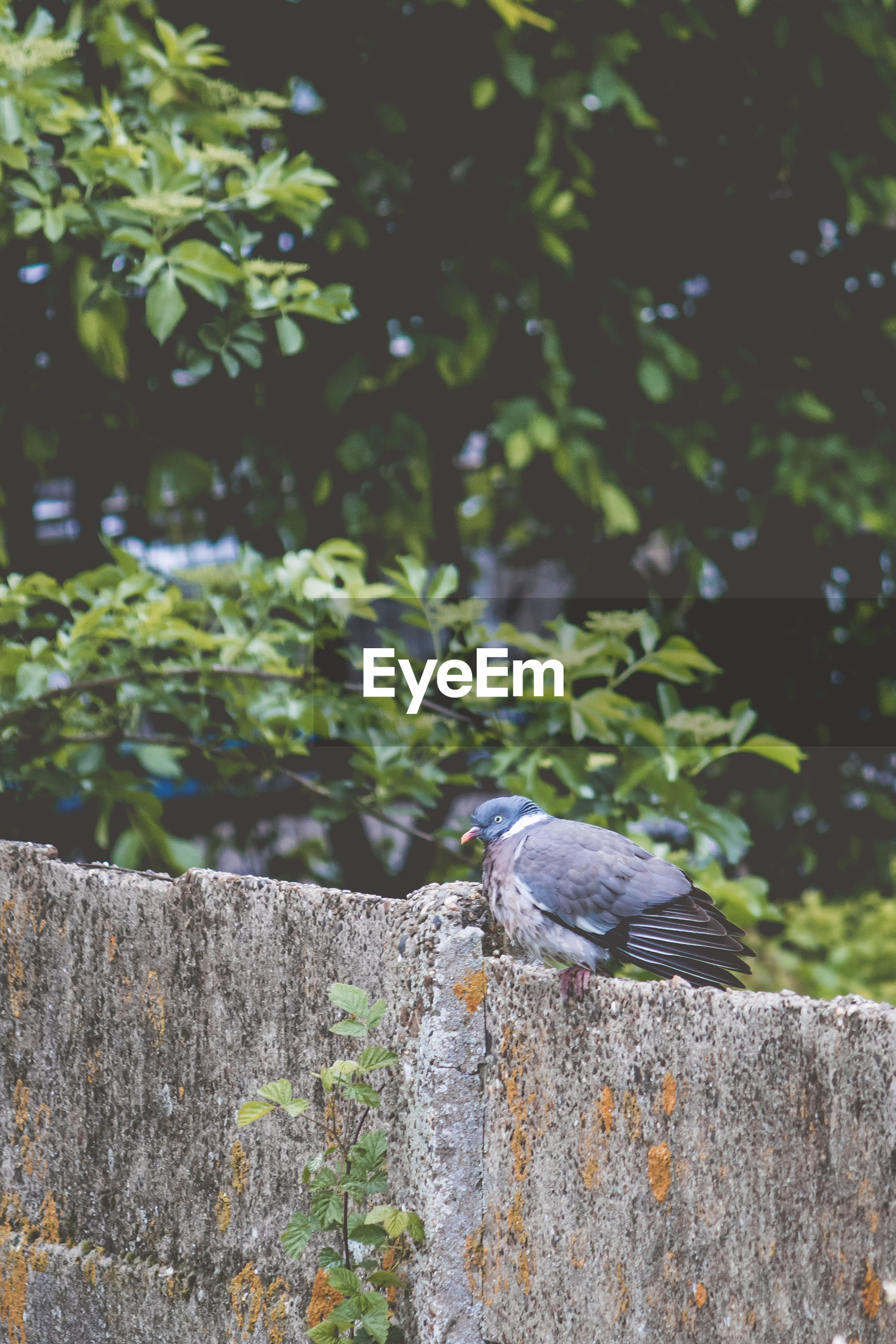 Pigeon perching on fence against trees