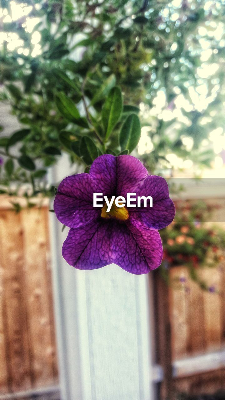 flower, fragility, freshness, beauty in nature, purple, growth, day, no people, nature, petal, focus on foreground, outdoors, flower head, plant, close-up, blooming, petunia