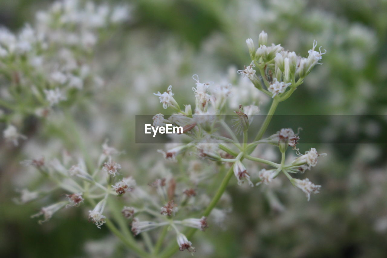 flower, flowering plant, plant, beauty in nature, growth, fragility, vulnerability, freshness, close-up, selective focus, day, no people, nature, white color, petal, flower head, springtime, tree, focus on foreground, blossom, bunch of flowers, cherry blossom
