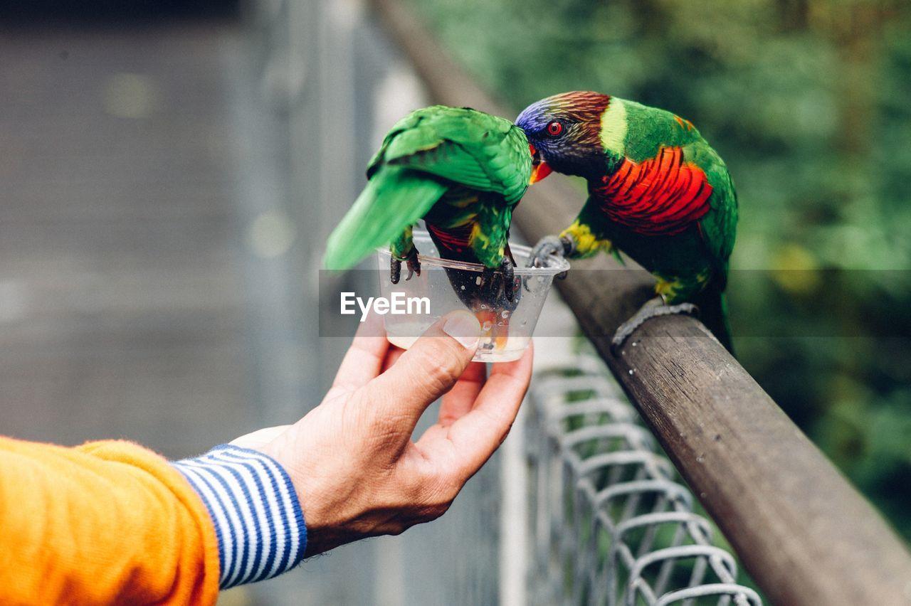 Cropped Hand Feeding Rainbow Lorikeet By Fence