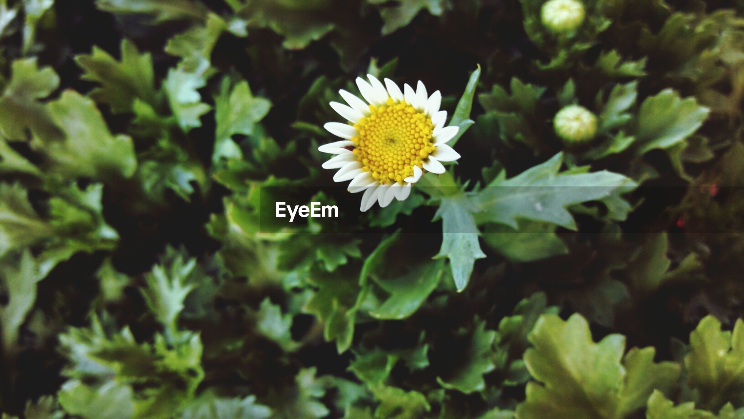High angle view of daisy growing in park