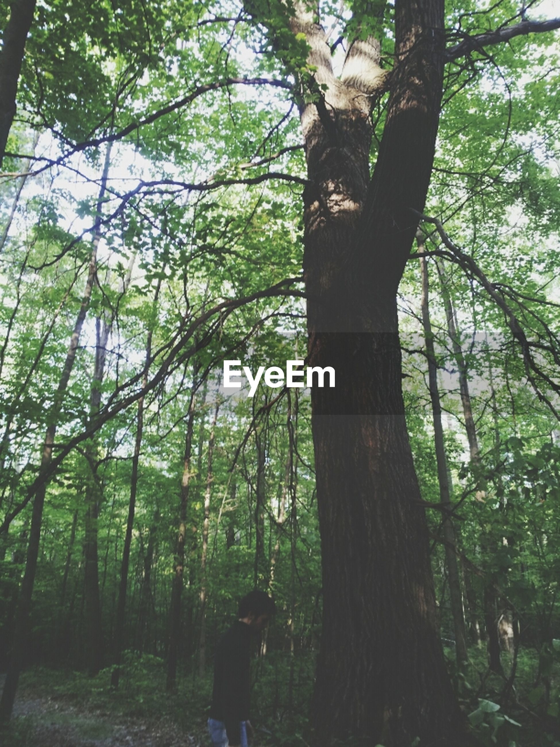 tree, tree trunk, forest, growth, branch, tranquility, woodland, nature, green color, tranquil scene, beauty in nature, day, outdoors, leisure activity, lifestyles, non-urban scene, scenics, sunlight