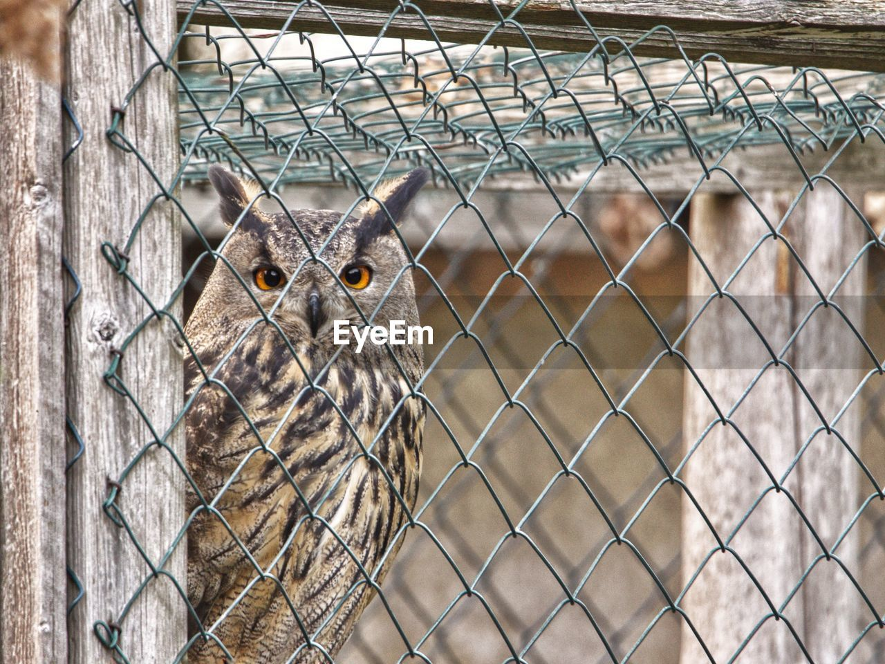 fence, one animal, animal themes, animal, boundary, barrier, chainlink fence, vertebrate, protection, cage, mammal, security, looking at camera, no people, safety, animals in captivity, portrait, metal, zoo, animal wildlife, outdoors, animal eye, animal head