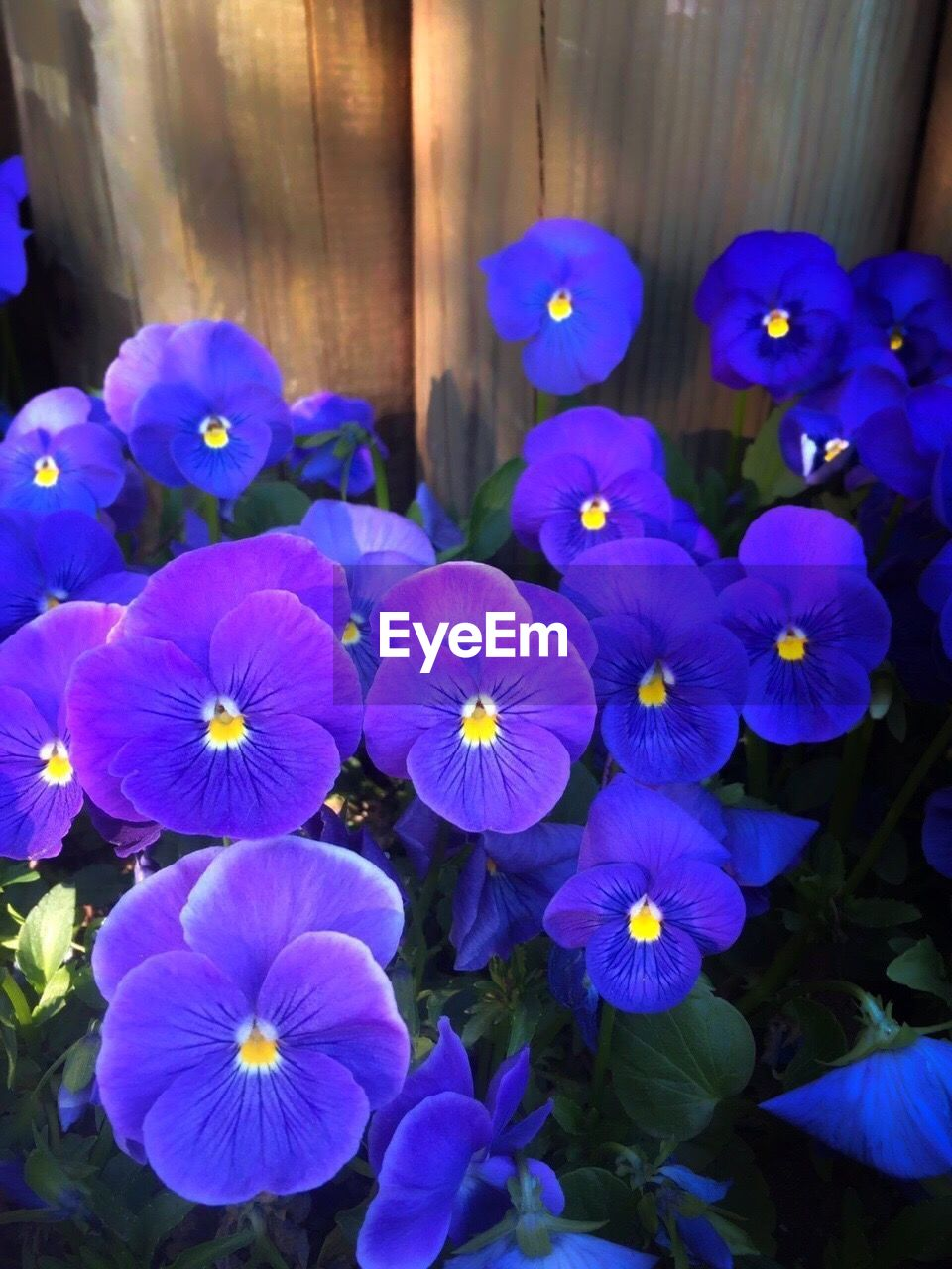 flower, petal, beauty in nature, purple, no people, flower head, growth, nature, freshness, fragility, day, blooming, outdoors, close-up, petunia