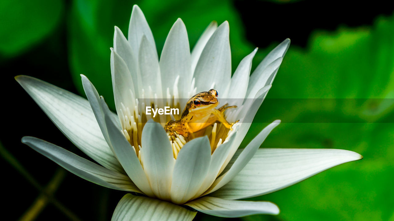 Close-Up Of Frog On Lotus Flower