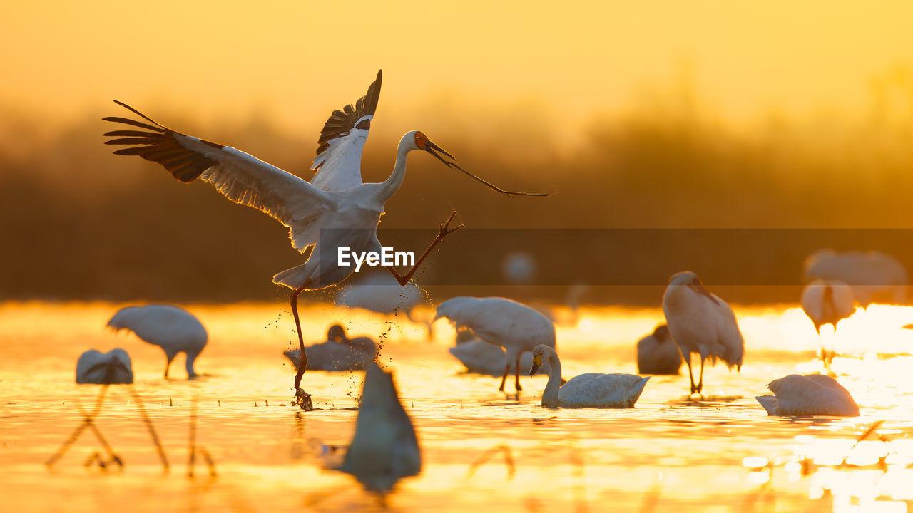 Siberian Cranes In Lake During Sunset