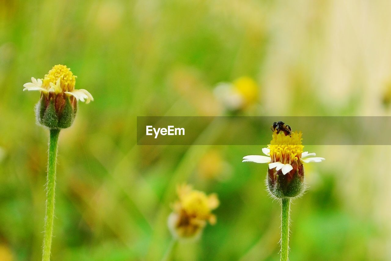 flowering plant, flower, fragility, vulnerability, plant, freshness, growth, beauty in nature, flower head, invertebrate, yellow, close-up, animals in the wild, focus on foreground, petal, insect, animal wildlife, animal themes, animal, bee, pollination, no people, pollen, outdoors