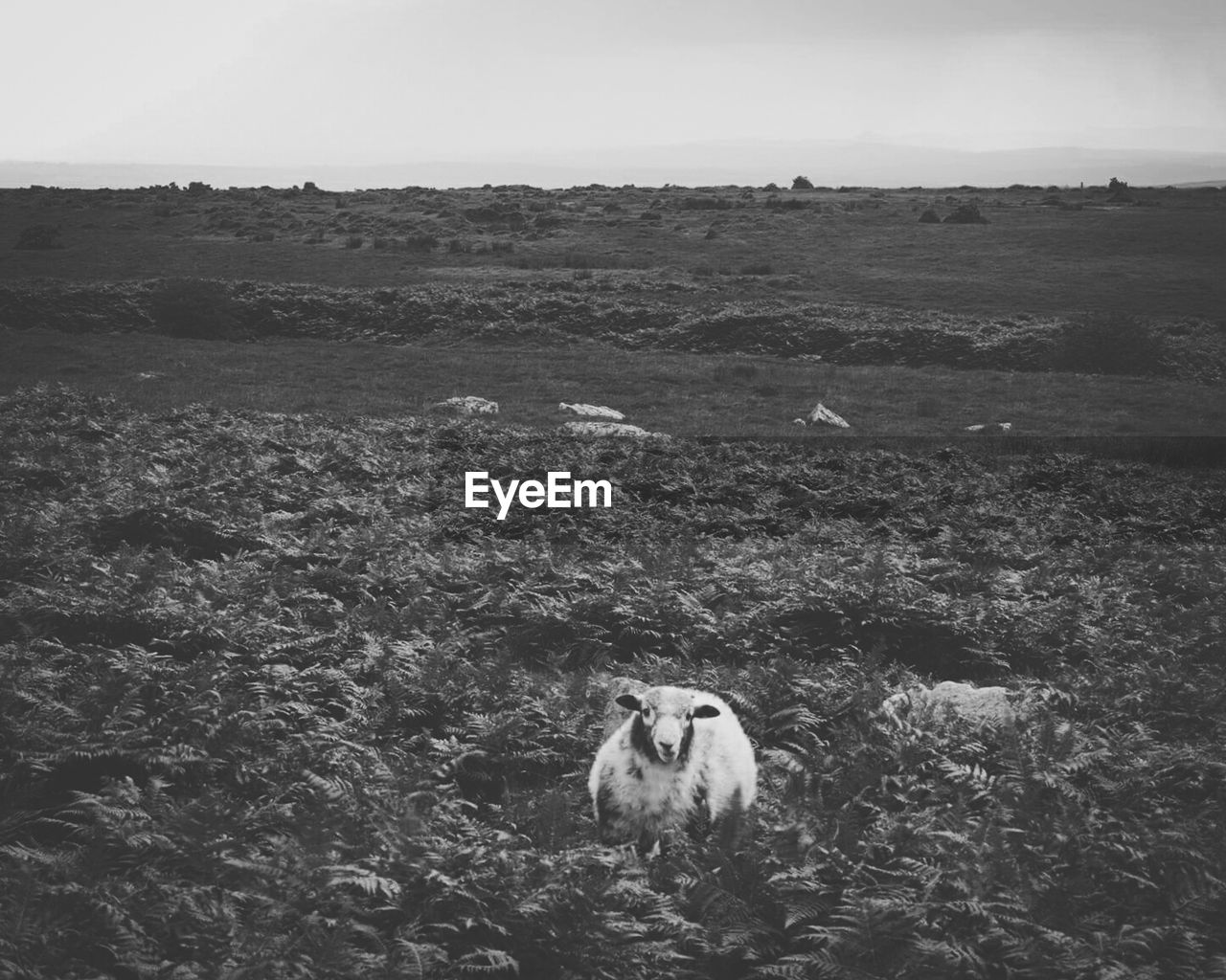 View Of Sheep In Field