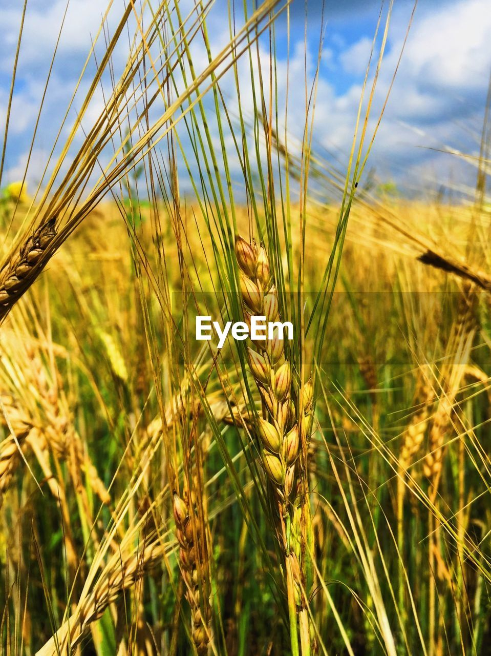 crop, plant, agriculture, cereal plant, growth, sky, land, nature, field, close-up, rural scene, wheat, landscape, farm, focus on foreground, beauty in nature, day, ear of wheat, tranquility, no people, outdoors, stalk, plantation