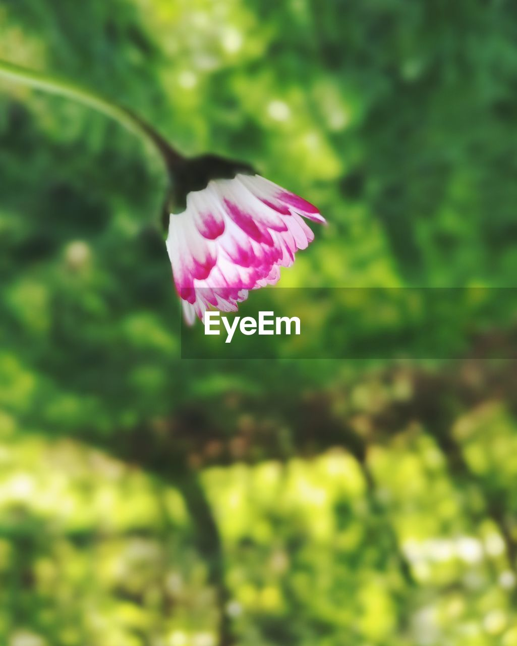 flower, fragility, nature, petal, beauty in nature, growth, freshness, flower head, pink color, focus on foreground, green color, plant, outdoors, no people, day, close-up, blooming