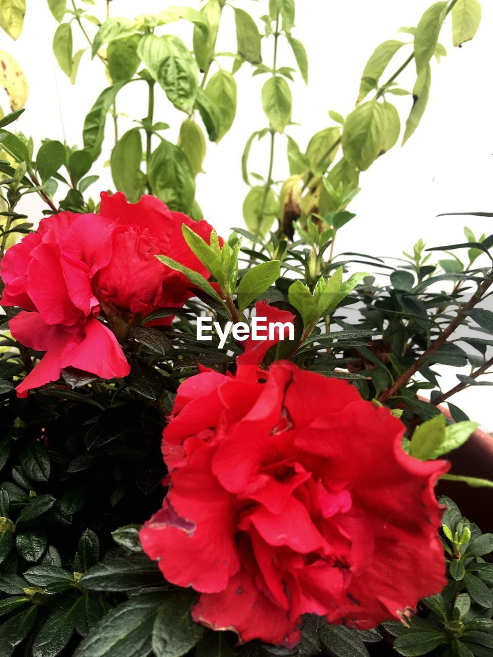 red, flower, growth, petal, nature, beauty in nature, plant, leaf, freshness, fragility, no people, flower head, rose - flower, outdoors, close-up, green color, day, hibiscus, blooming