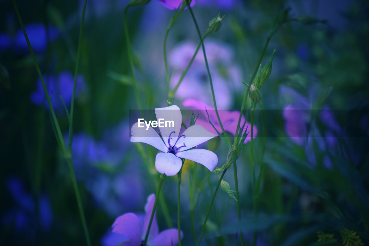plant, flowering plant, flower, freshness, petal, beauty in nature, growth, fragility, vulnerability, close-up, flower head, inflorescence, purple, no people, nature, focus on foreground, selective focus, day, outdoors, blue