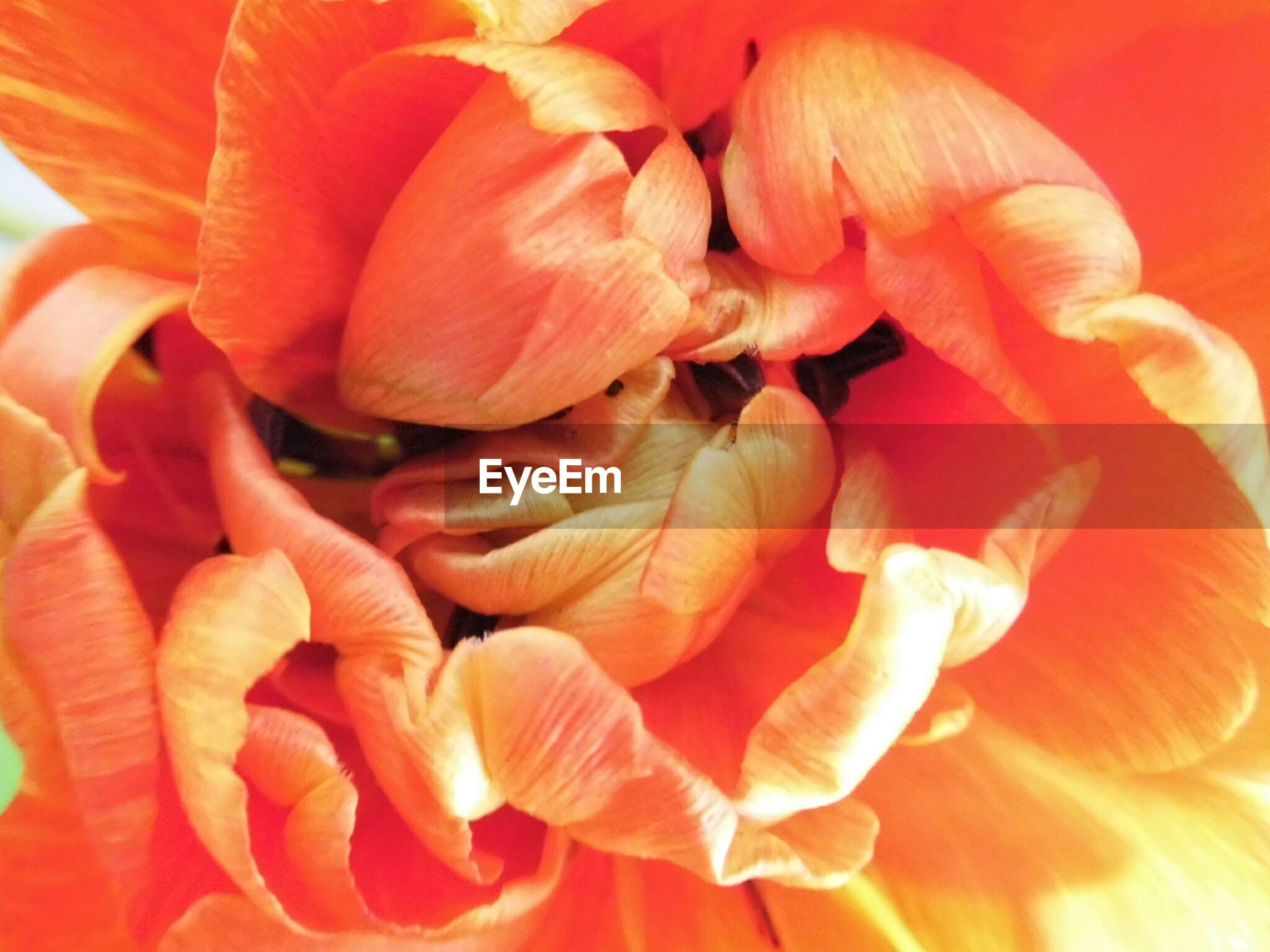 Full frame shot of orange tulip flower