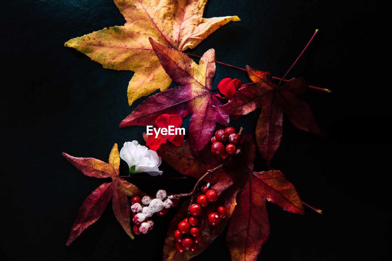 plant, plant part, leaf, close-up, beauty in nature, nature, autumn, no people, vulnerability, fragility, change, red, freshness, flower, growth, flowering plant, maple leaf, dry, outdoors, fruit, black background, leaves, wilted plant