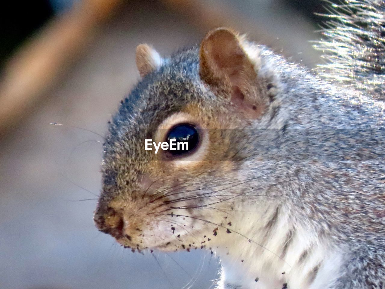 animal themes, animal, one animal, animal wildlife, mammal, close-up, animals in the wild, rodent, vertebrate, whisker, animal body part, no people, looking, focus on foreground, animal head, squirrel, looking away, day, outdoors, pets, animal eye, profile view