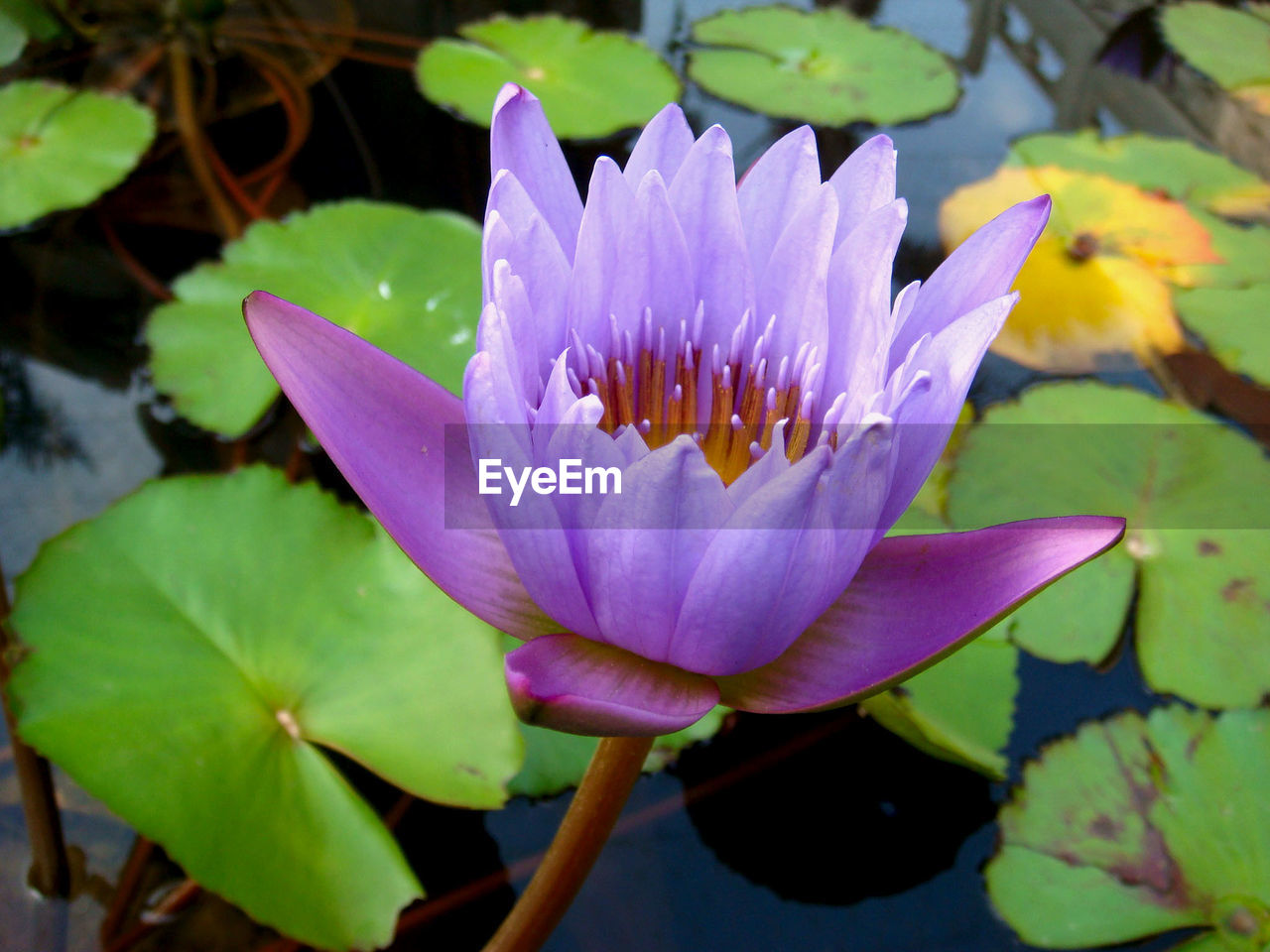 flower, flowering plant, plant, vulnerability, water lily, fragility, leaf, petal, plant part, growth, beauty in nature, freshness, inflorescence, flower head, water, close-up, pond, purple, lotus water lily, pollen, pink color, no people, floating on water