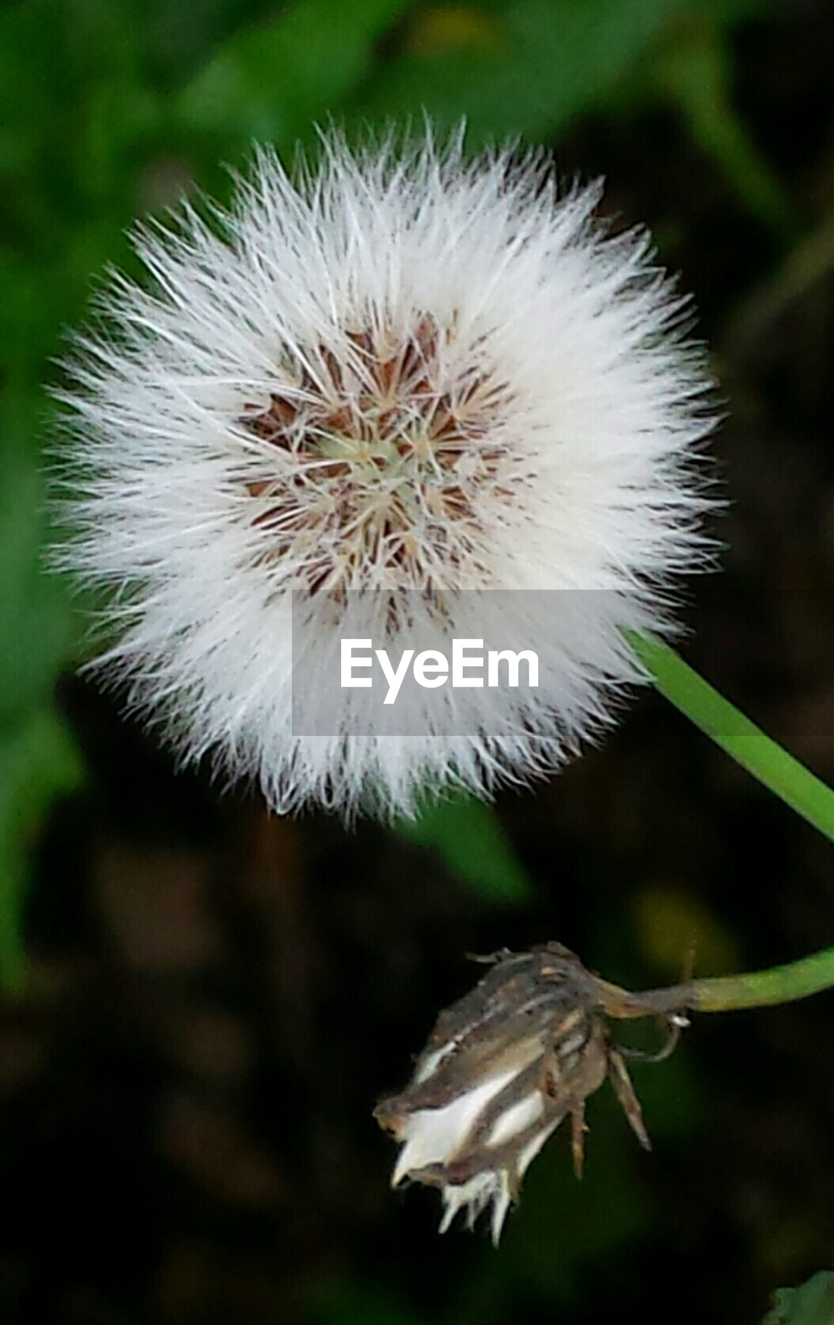 dandelion, flower, fragility, focus on foreground, growth, close-up, freshness, flower head, white color, beauty in nature, nature, single flower, softness, wildflower, uncultivated, plant, stem, selective focus, white, day