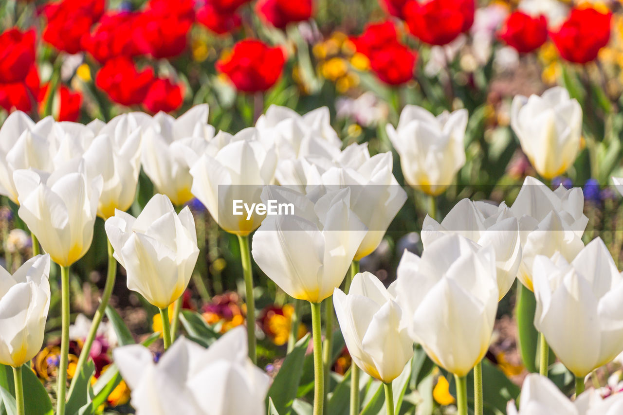 flowering plant, flower, plant, beauty in nature, petal, vulnerability, freshness, fragility, white color, flower head, inflorescence, growth, close-up, nature, no people, day, tulip, field, park - man made space, focus on foreground, flowerbed
