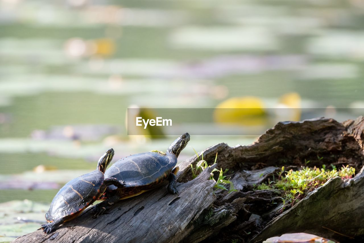 animal, animal wildlife, animal themes, animals in the wild, one animal, close-up, focus on foreground, turtle, no people, reptile, nature, day, water, shell, animal shell, vertebrate, selective focus, outdoors, rock, marine