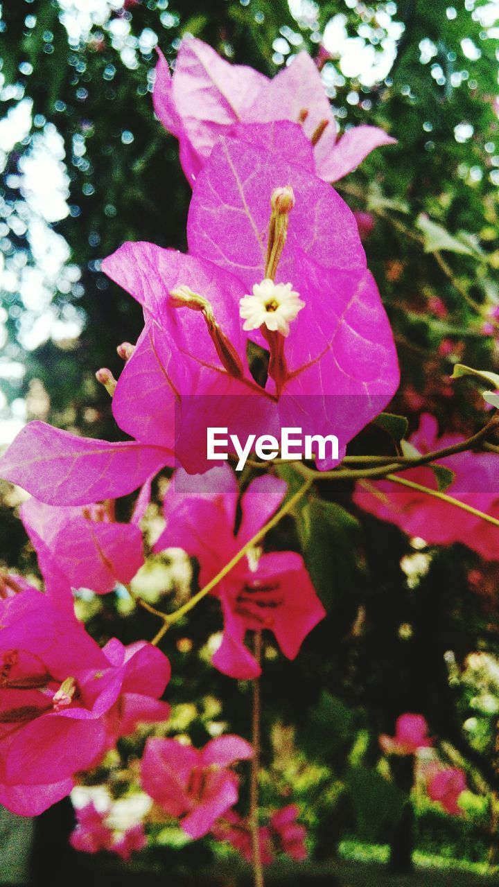 flower, pink color, petal, growth, fragility, beauty in nature, nature, no people, freshness, tree, day, blooming, bougainvillea, outdoors, springtime, close-up, flower head