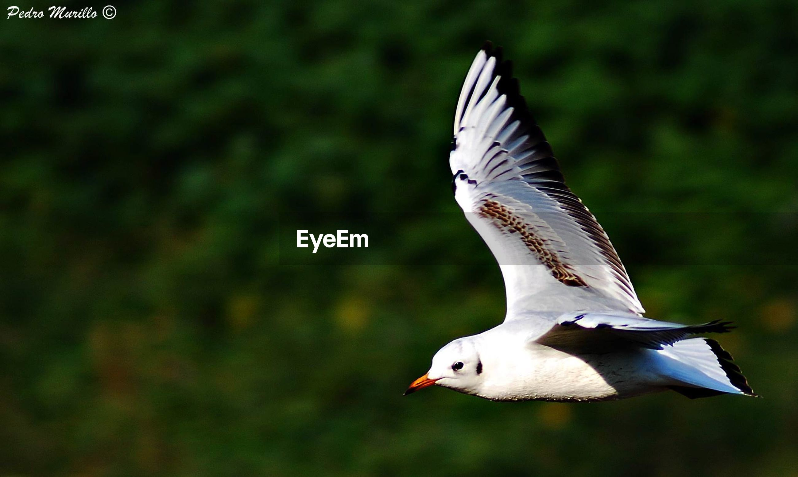 bird, one animal, spread wings, flying, animal body part, animal, animals in the wild, animal themes, animal wildlife, no people, close-up, outdoors, nature, day