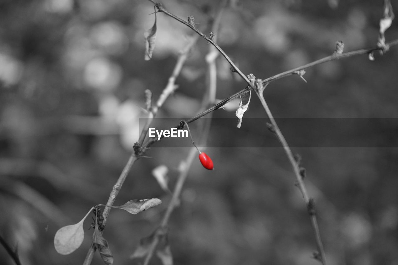 focus on foreground, close-up, red, plant, no people, healthy eating, growth, berry fruit, food and drink, food, fruit, day, tree, nature, freshness, beauty in nature, rose hip, twig, outdoors, leaf