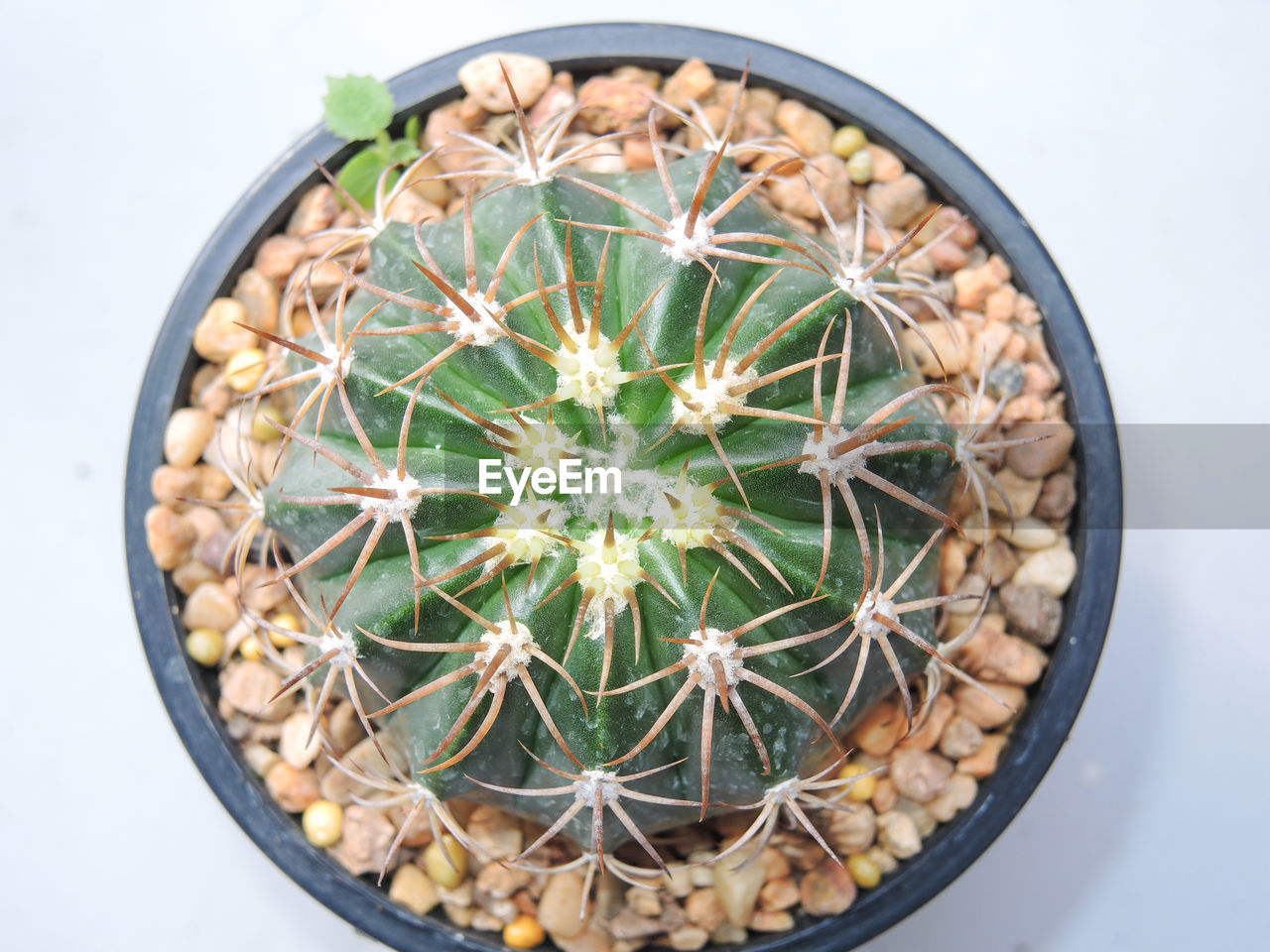 cactus, thorn, potted plant, high angle view, directly above, spiked, green color, close-up, no people, plant, growth, white background, nature, indoors, day, freshness