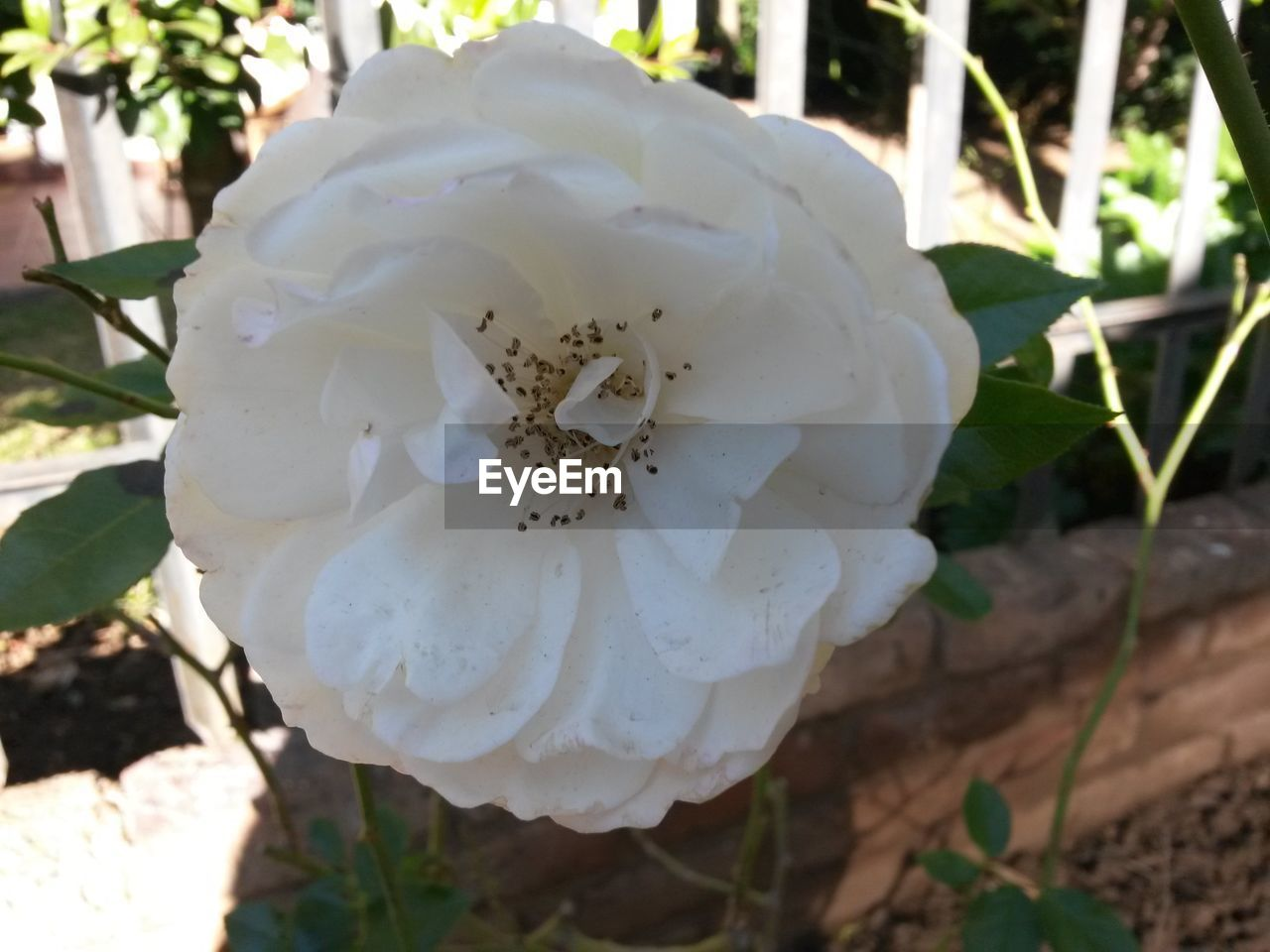flower, white color, fragility, petal, nature, beauty in nature, growth, flower head, freshness, close-up, day, blossom, botany, plant, outdoors, no people, wild rose, focus on foreground, stamen, springtime, blooming, tree