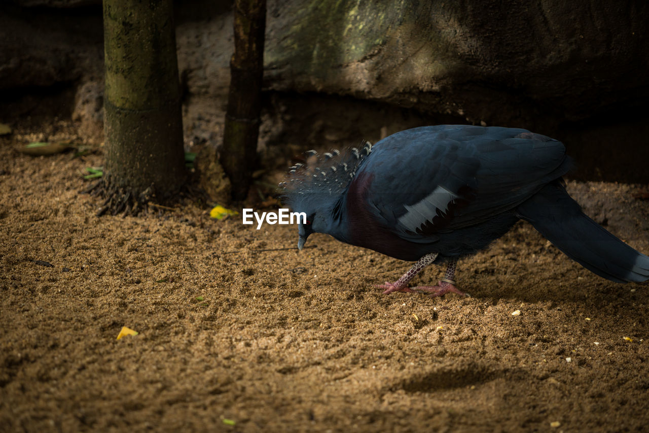 bird, animal themes, one animal, animal, animals in the wild, animal wildlife, vertebrate, no people, day, selective focus, field, land, nature, outdoors, close-up, perching, pigeon, side view, zoology, full length