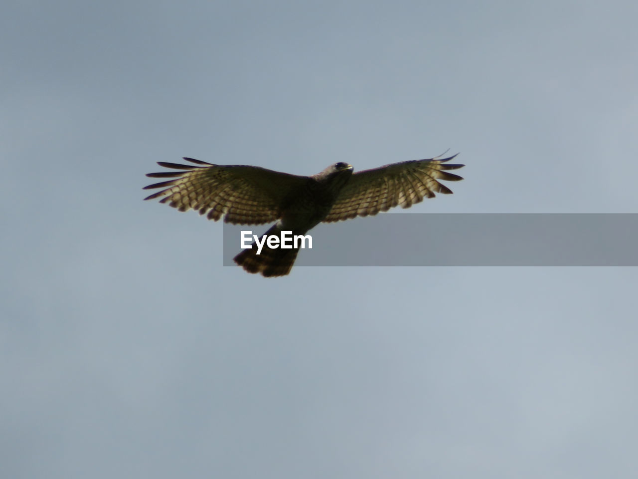 animals in the wild, flying, animal wildlife, animal themes, one animal, spread wings, animal, vertebrate, bird, low angle view, sky, clear sky, bird of prey, no people, mid-air, motion, nature, copy space, day, outdoors, eagle, falcon - bird