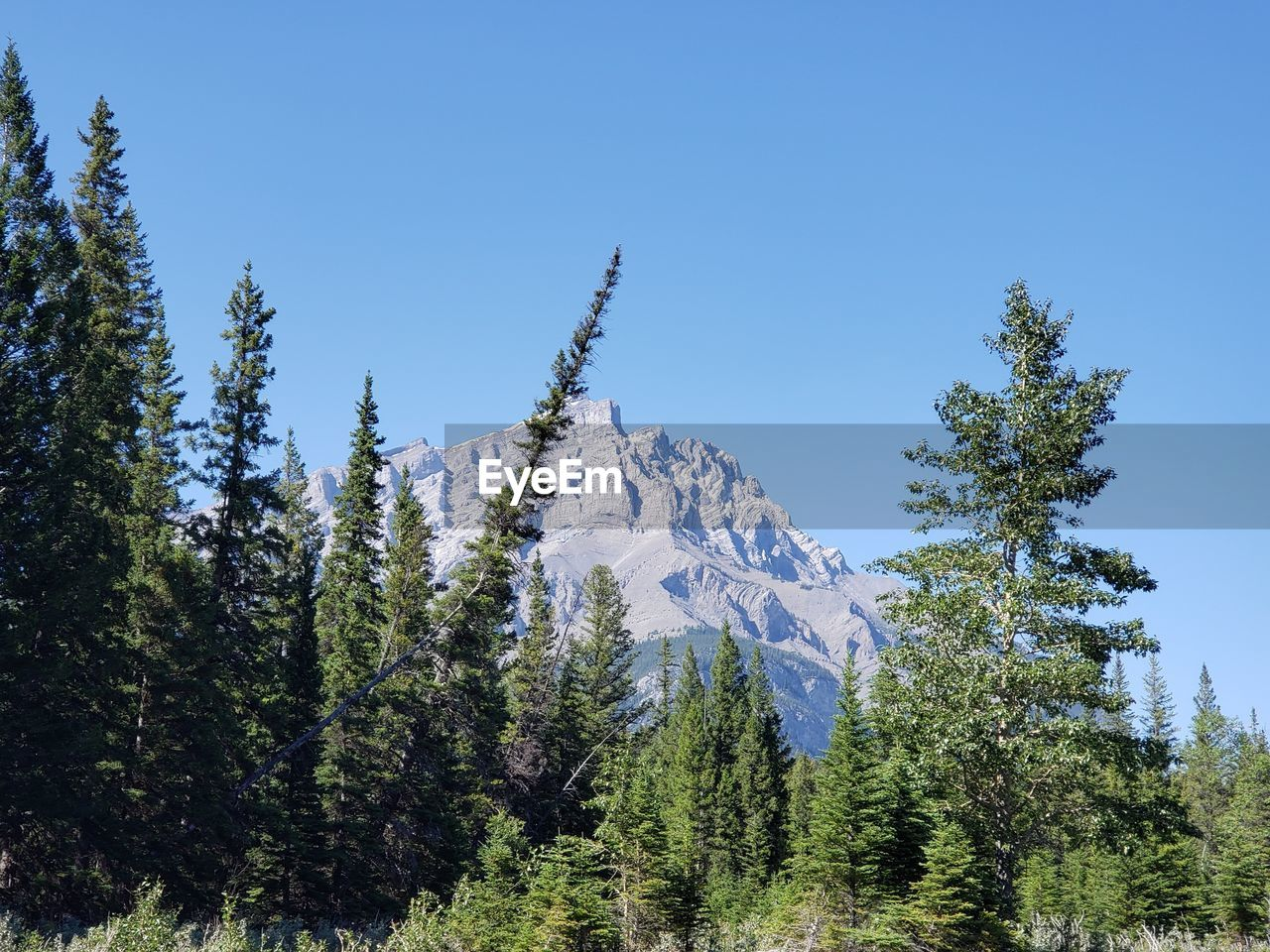 LOW ANGLE VIEW OF PINE TREES ON SNOWCAPPED MOUNTAIN AGAINST SKY