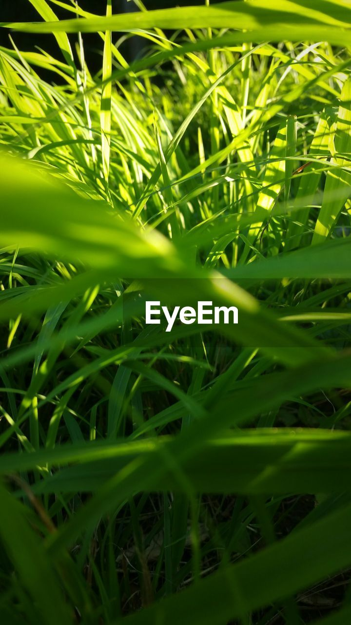 green color, plant, growth, grass, nature, selective focus, day, field, full frame, beauty in nature, land, no people, blade of grass, close-up, backgrounds, outdoors, tranquility, freshness, plant part, leaf