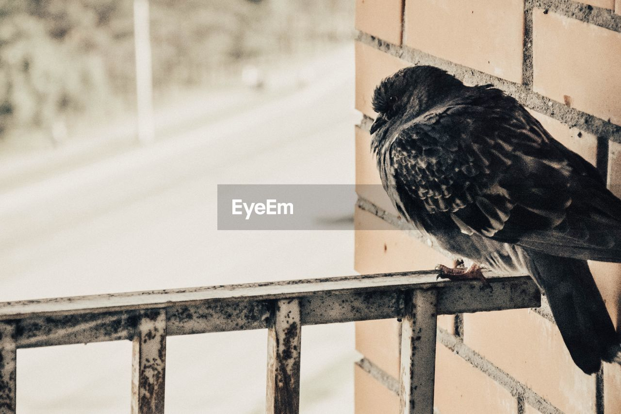 bird, animal, one animal, animal themes, animal wildlife, railing, animals in the wild, vertebrate, focus on foreground, day, perching, no people, close-up, metal, architecture, nature, outdoors, black color, wood - material, looking