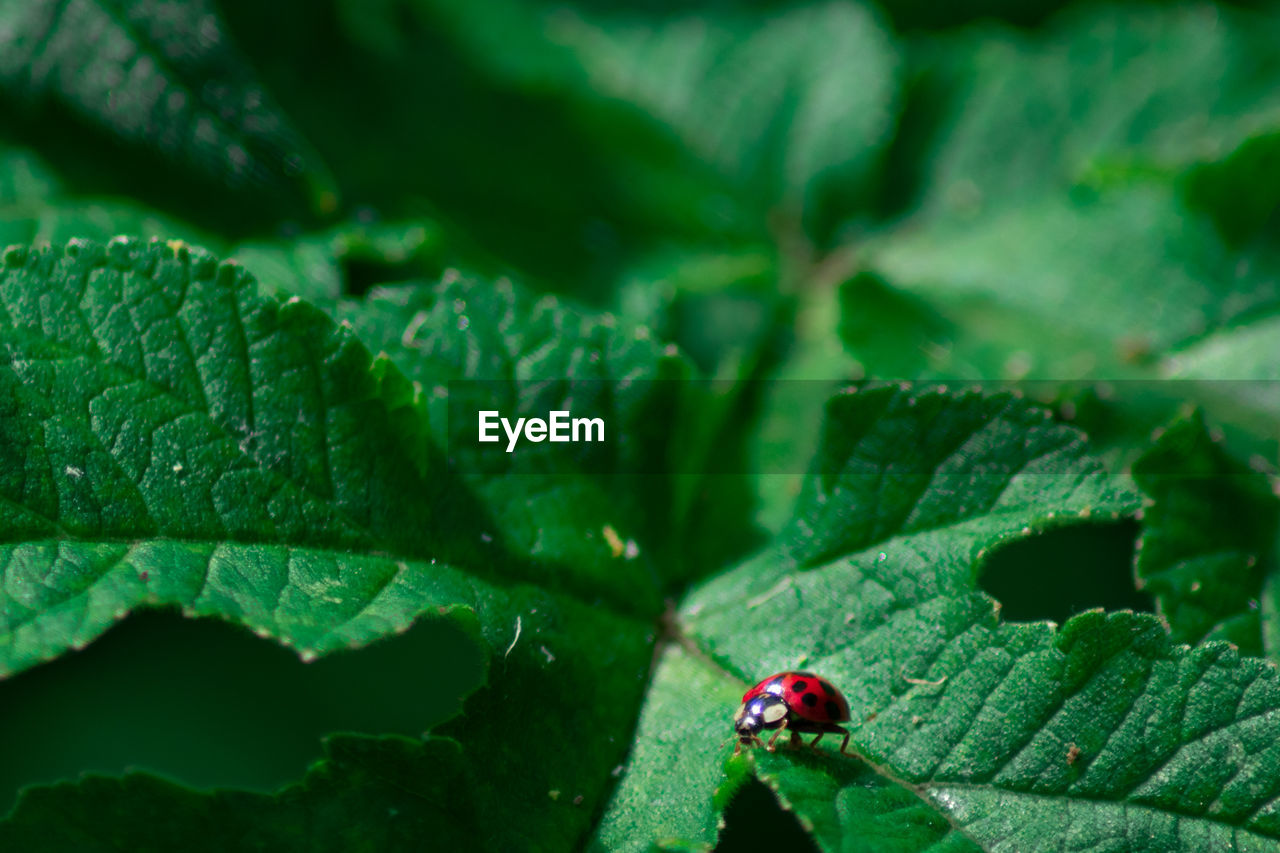 insect, invertebrate, green color, plant part, leaf, one animal, animal, animal wildlife, animals in the wild, animal themes, beetle, day, close-up, plant, nature, no people, ladybug, growth, red, selective focus, outdoors