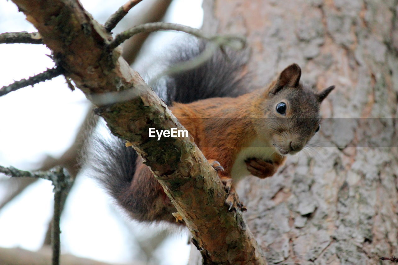 one animal, animal, tree, mammal, animal themes, animal wildlife, rodent, branch, animals in the wild, squirrel, vertebrate, no people, focus on foreground, plant, day, close-up, nature, tree trunk, low angle view, trunk, outdoors, animal head, herbivorous