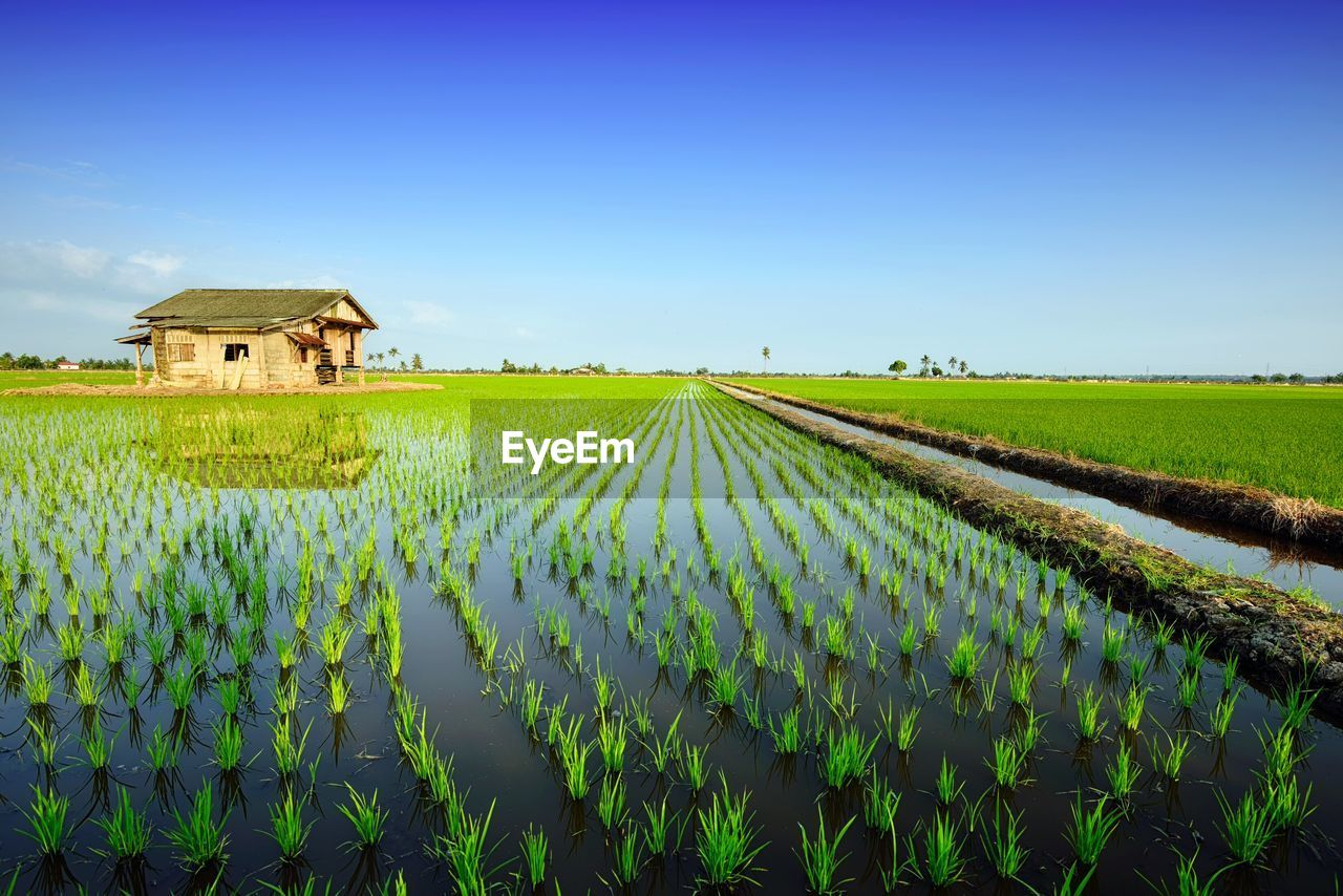 Scenic view of rice paddy against blue sky