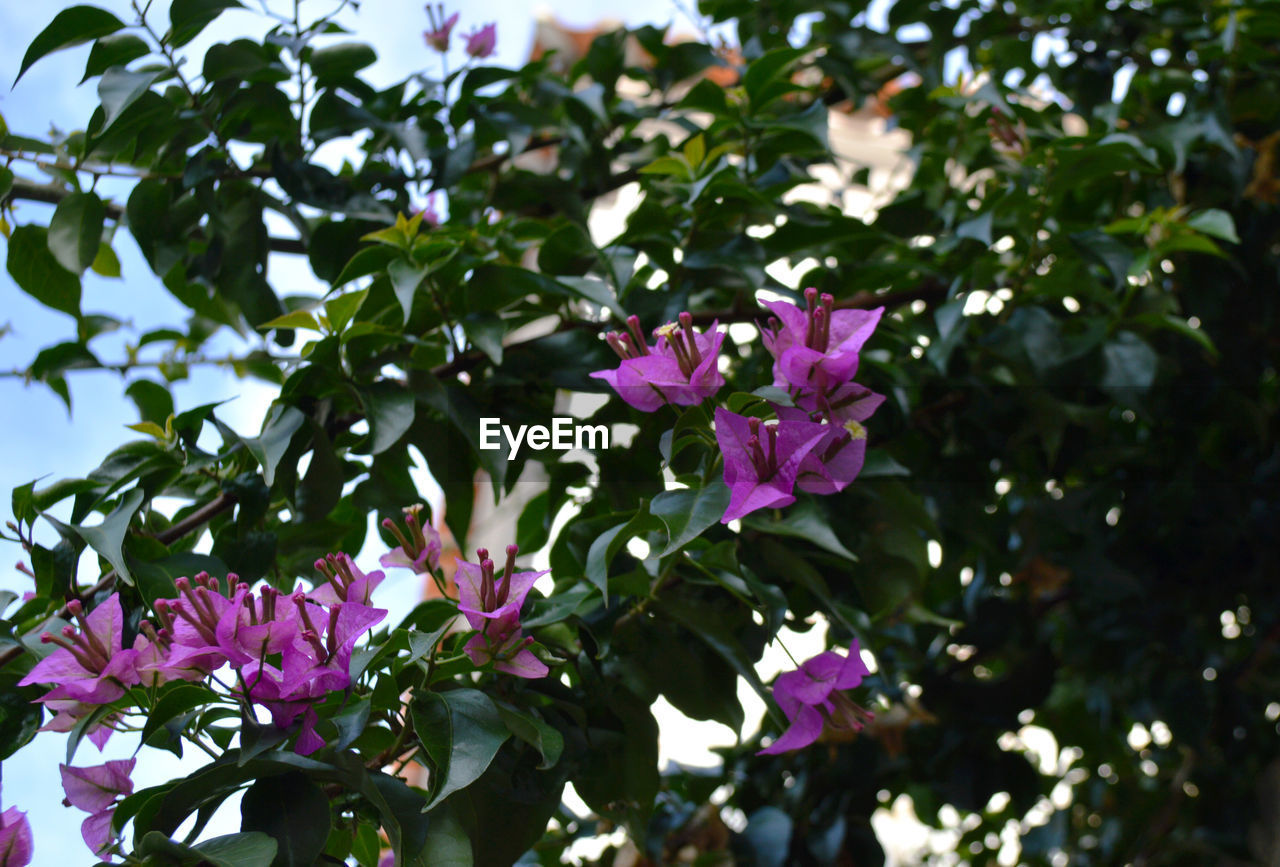 flower, fragility, petal, nature, growth, beauty in nature, pink color, freshness, blooming, outdoors, no people, day, leaf, focus on foreground, plant, close-up, flower head, tree, periwinkle
