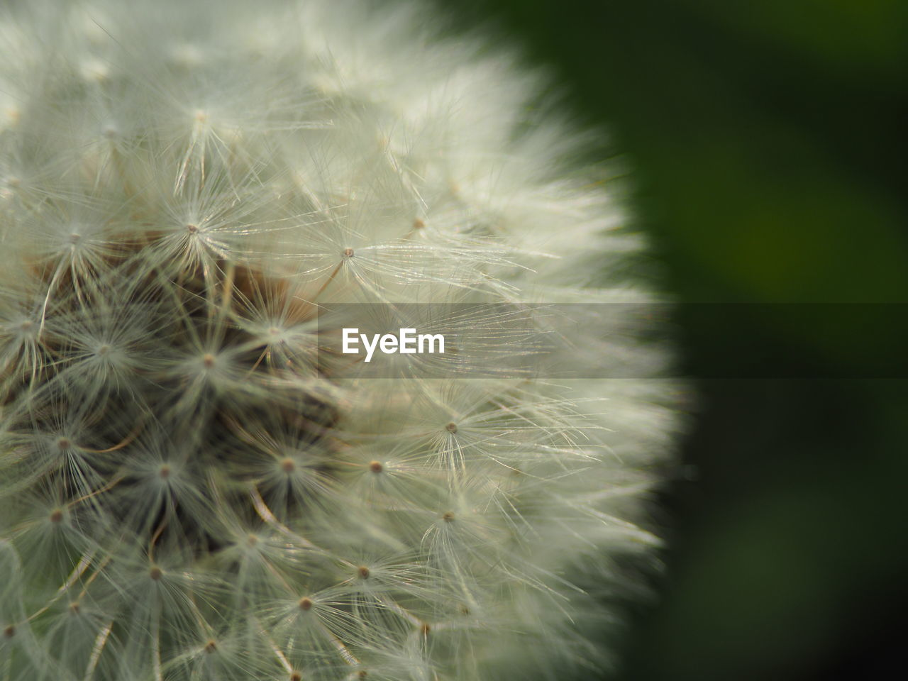 dandelion, softness, nature, fragility, flower, growth, beauty in nature, dandelion seed, close-up, plant, botany, freshness, uncultivated, focus on foreground, wildflower, seed, springtime, flower head, no people, outdoors, day